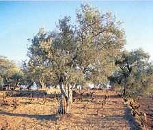 Productos tradicionales - Aceite de Oliva