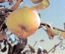 Productos Tradicionales - Manzanas