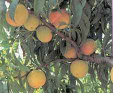 Productos Tradicionales - Melocotón del Alberche